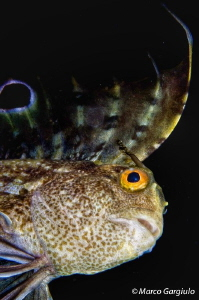 Blennius ocellaris, night dive by Marco Gargiulo
