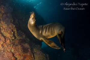 Sea Lion in fashion, La Paz Mexico by Alejandro Topete