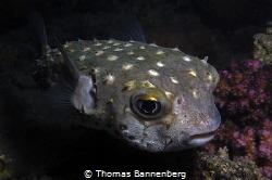 Yellowspotted burrfish (Cyclichthys spilostylus)  NIKO... by Thomas Bannenberg
