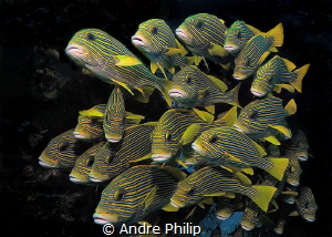 Like a Wall in the current - a school of sweetlips in Raj... by Andre Philip