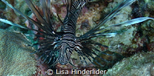 All fanned out & hovering in the water, a Lionfish lurks. by Lisa Hinderlider