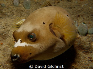Dog Faced Pufferfish, Chuuk Lagoon by David Gilchrist