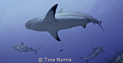 After just getting certified, one of my first dives was w... by Tina Norris