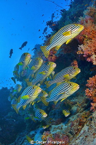 Sweetlips in Maldives by Oscar Miralpeix