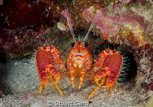 Red Hawaiian Reef Lobster by Stuart Ganz