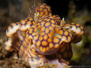 Miamara sinuata, Manado by Doug Anderson