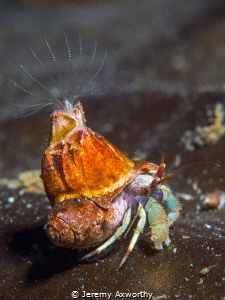 Hermit Crab with Barnacle Buddy by Jeremy Axworthy
