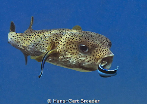 Porcupine- and cleanerfish Bunaken,Sulawesi,Indonesia, B... by Hans-Gert Broeder