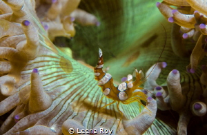 Squat shrimp on anemone by Leena Roy