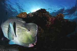 Bumphead Parrotfish at Sipadan by Iyad Suleyman