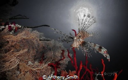 Lion Fish by Anthony Smith