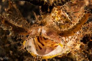 Ambon scorpionfish in Lembeh. by Mehmet Salih Bilal