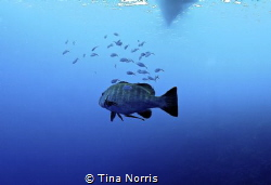 Grouper by Tina Norris