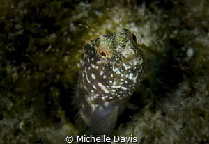 Sailfin Blenny by Michelle Davis