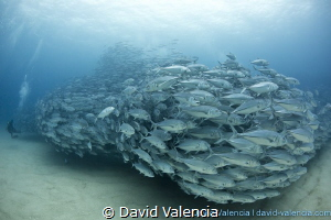 Every Year a massive school of Jacks arrives to Cabo Pulm... by David Valencia