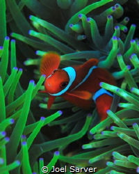 Red Clown Fish with Anenome by Joel Sarver
