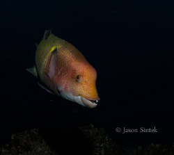 The Hogfish is a common resident of the Socorro Islands. ... by Jason Sintek