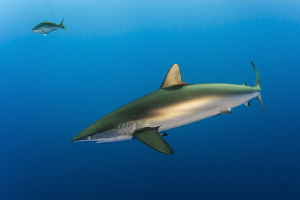 The bronze flanks of a silky shark photographed in the Ja... by Paul Colley