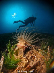 Anemone and diver by Yoav Lavi