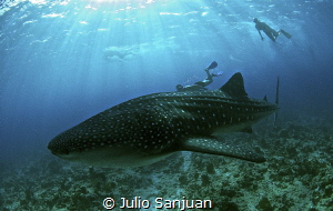 My son Julio, meeting with a whale shark in Maldives. by Julio Sanjuan