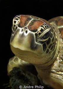 Turtle - Portrait by Andre Philip