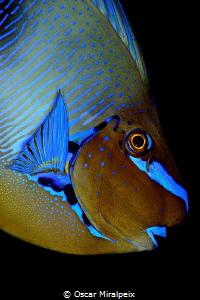 surgeonfish portrait by Oscar Miralpeix