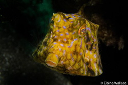 Cow fish in Komodo by Elaine Wallace