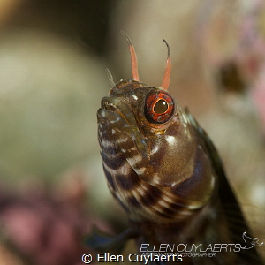 Gulf Signal blenny showing some 'teeth' by Ellen Cuylaerts