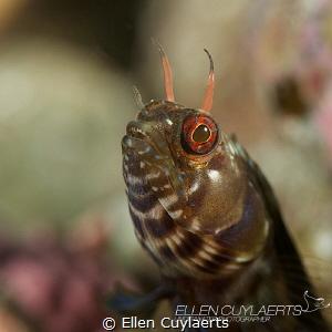 Gulf Signal blenny showing some 'teeth' by Ellen Cuylaerts