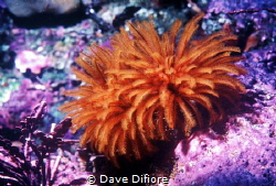 Monastery trench tube worms by Dave Difiore