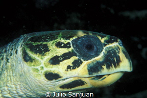 Turtle in a night dive in Belize by Julio Sanjuan