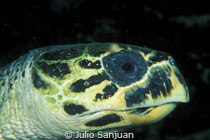 Turtle in a night dive in Belize by Julio Sanjuan