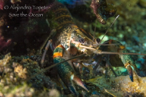 River Shrimp, Las Estacas Mexico by Alejandro Topete