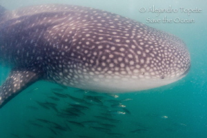 Whale Shark with sardines, La Paz Mexico by Alejandro Topete