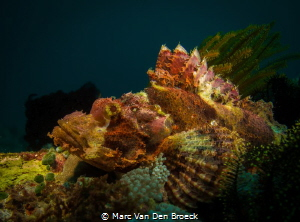 Big scorpion fish by Marc Van Den Broeck