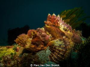 Big scorpion fish by Marc Van Den Broeck