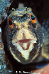 Butterfly blenny