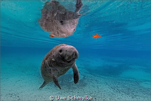 Manatee kid by Uwe Schmolke