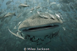 Whaleshark swims towards me in open water, followed by ju... by Miles Jackson