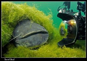 Buddy Sven facin a 2m Wels Catfish :-D by Daniel Strub