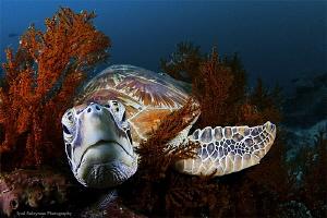 Turtle from Sipadan by Iyad Suleyman