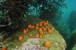 Golfball sponges in a murky harbour by Daniel Poloha