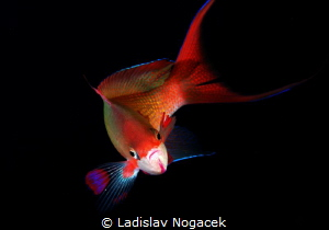 golden fish by Ladislav Nogacek