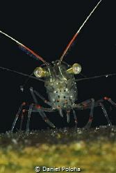 Translucent Shrimp Warrior from Ti Point Wharf by Daniel Poloha