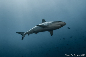Grey Reef Shark by Henrik Gram Rasmussen