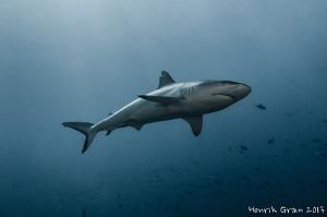 Grey Reef Shark by Henrik Gram Rasmussen