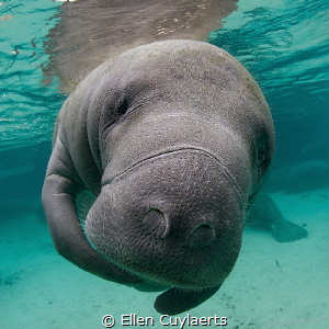 Portrait of a manatee by Ellen Cuylaerts
