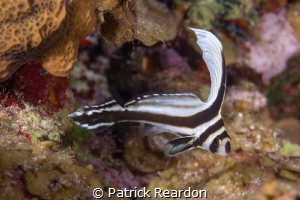 Juvenile drum swimming elegant circles. by Patrick Reardon