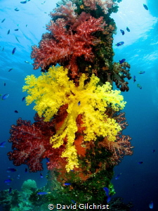 Beautiful tree coral growths on the Fujikawa  Maru, Chuuk... by David Gilchrist