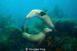 Best Friends At Play. A pair of California sea lions chas... by Douglas Klug